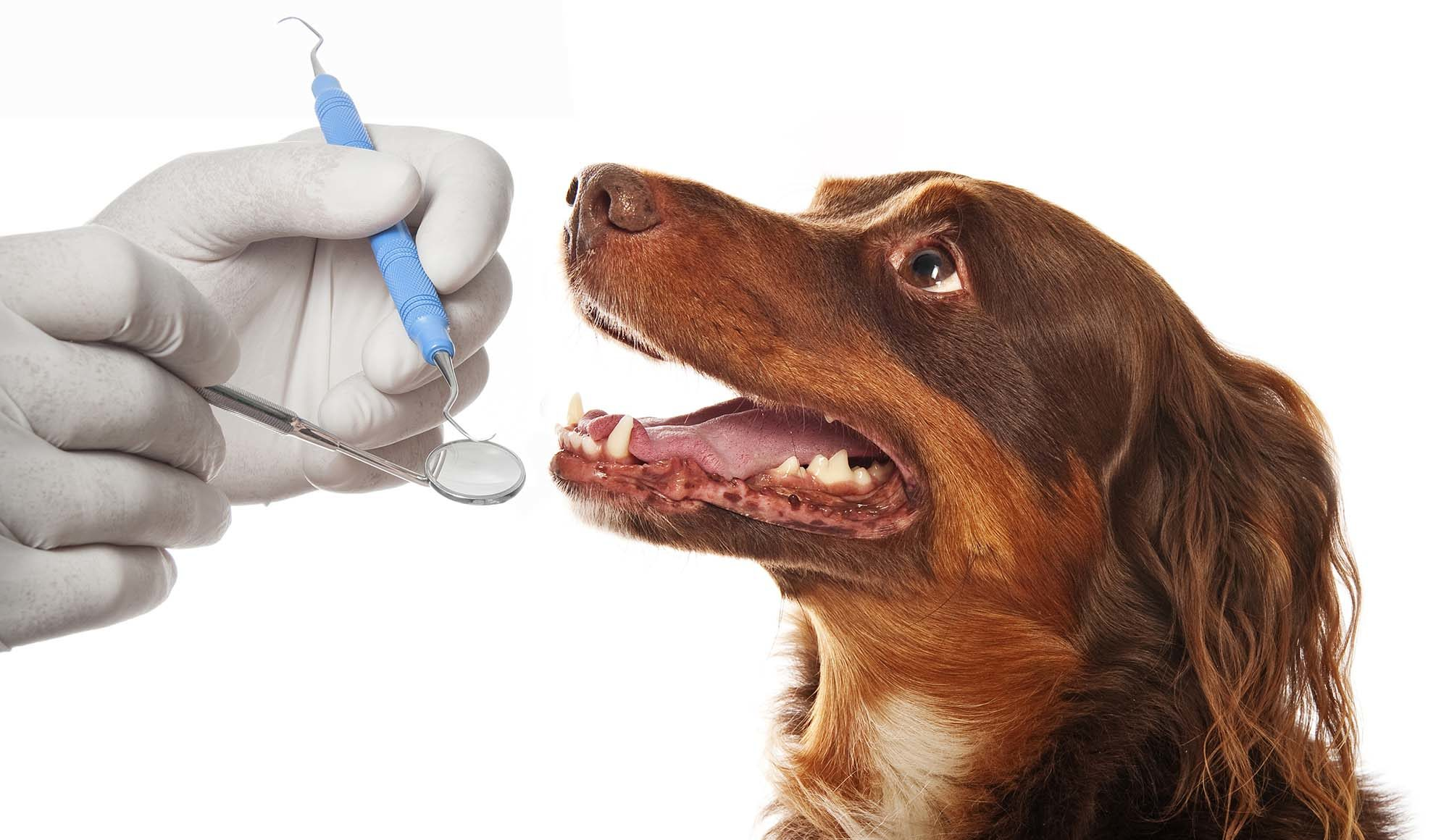 higiene bucal perro