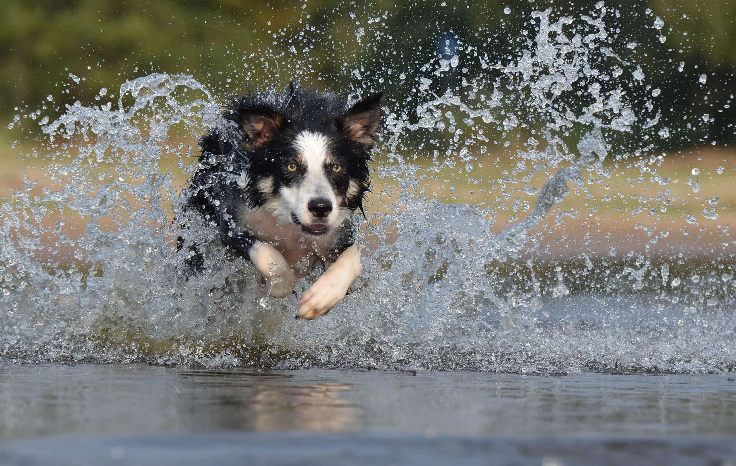 perro border collie corre en el agua