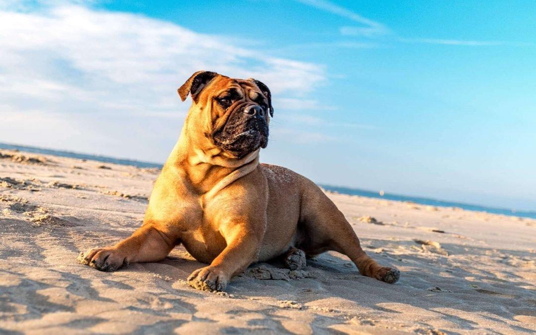 banner perro buldoch en la playa